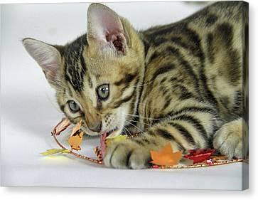 Fall Kitten Canvas Print by Shoal Hollingsworth