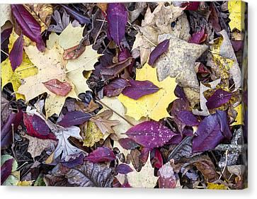 Fall Leaves - Uw Arboretum - Madison  - Wisconsin Canvas Print by Steven Ralser