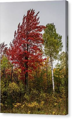 Canvas Print featuring the photograph Fall Maple by Paul Freidlund