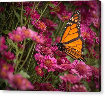 Canvas Print featuring the photograph Fall Monarch  by Julie Andel