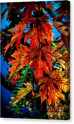 Fall Reds Canvas Print by Robert Bales