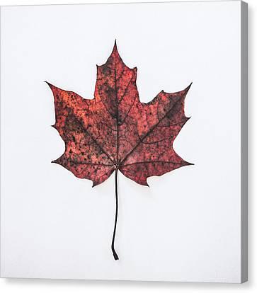 Fallen Red Canvas Print by Kate Morton