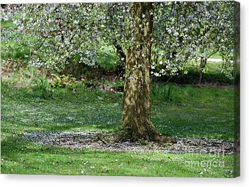 Falling Blossom Canvas Print by Tim Gainey