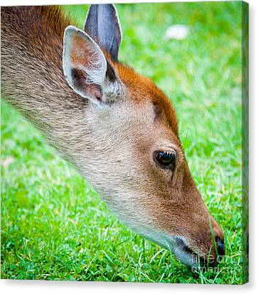 Fallow Deer Grazing British Fallow Deer Grazing On Grass In The New Forest Dorset Canvas Print by Andy Smy
