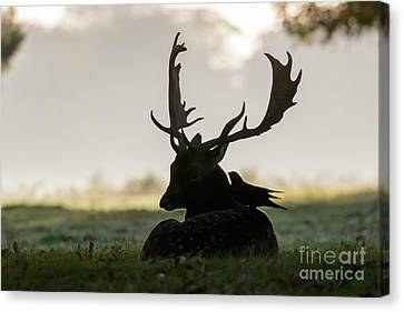 Fallow Deer With Friend Canvas Print