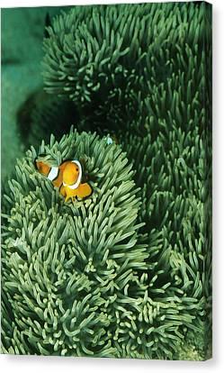 False Clown Fish, Amphiprion Ocellaris Canvas Print by James Forte