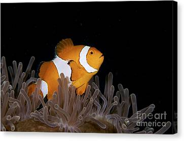 False Clownfish And Anemone Canvas Print by Steve Rosenberg - Printscapes