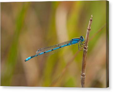 Familiar Bluet Canvas Print