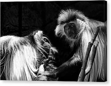 Canvas Print featuring the photograph Family - Black And White Colobus Monkeys by Jason Politte