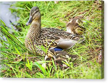 Family Of Ducks Canvas Print by James Brown