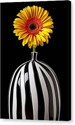 Fancy Daisy In Stripped Vase  Canvas Print by Garry Gay