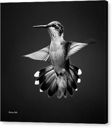 Fantail Hummingbird Square Bw Canvas Print by Christina Rollo