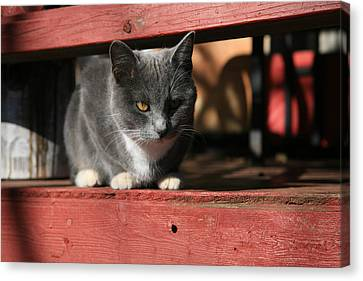 Farm Cat Canvas Print by Tacey Hawkins
