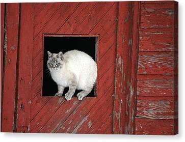 Farm Kittie Canvas Print by Shawna Dockery