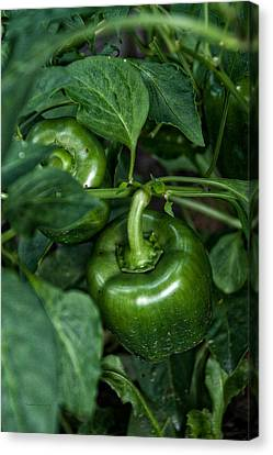 Farming Green Peppers Canvas Print by Thomas Woolworth