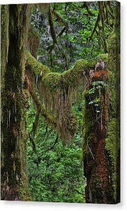 Fascinating Hoh Valley - Hoh Rain Forest Olympic National Park Onp Wa Usa Canvas Print by Christine Till