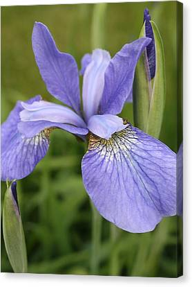 Fasinating Siberian Iris Canvas Print by Bruce Bley
