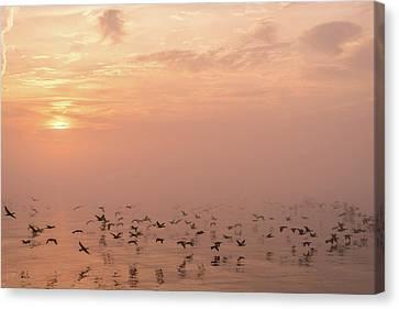 Glassy Wing Canvas Print - Fast Flight In Soft Pink Mist by Georgia Mizuleva