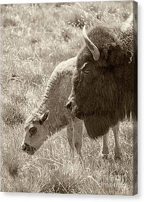 Canvas Print featuring the photograph Father And Baby Buffalo by Rebecca Margraf