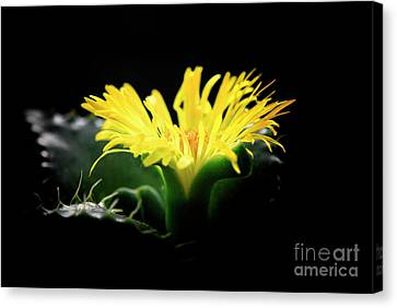 Canvas Print featuring the photograph Faucaria Tigerina Tiger's Jaw by Charline Xia