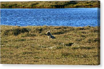 Fawn Caribou Canvas Print by Anthony Jones