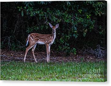 Fawn Near The Forest Canvas Print by Zina Stromberg