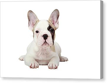 Bulldogs Canvas Print - Fawn Pied French Bulldog Puppy by Mlorenzphotography