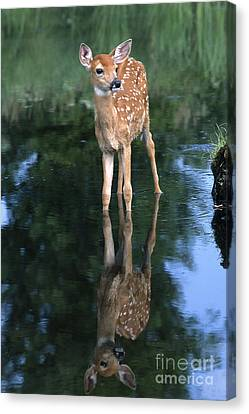 Fawn Reflection Canvas Print by Sandra Bronstein