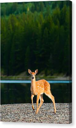 Fawn Canvas Print by Sebastian Musial
