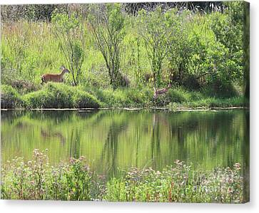 Fawn Spotted Across The Pond Canvas Print by Carol Groenen