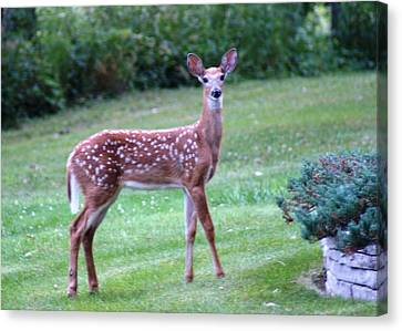 Fawn Standing Canvas Print by Geralyn Palmer