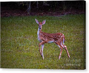 Fawn Canvas Print by Zina Stromberg