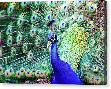 Feathered Peacock Canvas Print by Athena Mckinzie