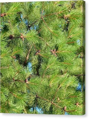Feathery Pine Needles Canvas Print