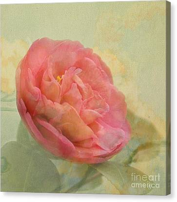 February Camellia Canvas Print by Cindy Garber Iverson