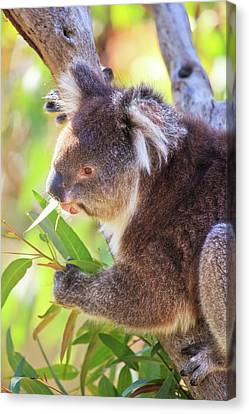 Feed Me, Yanchep National Park Canvas Print
