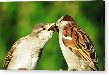 Feeding Baby Sparrow 3 Canvas Print by Judy Via-Wolff