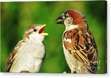 Feeding Baby Sparrows 2 Canvas Print by Judy Via-Wolff