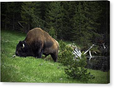 Canvas Print featuring the photograph Feeding Buffalo by Jason Moynihan