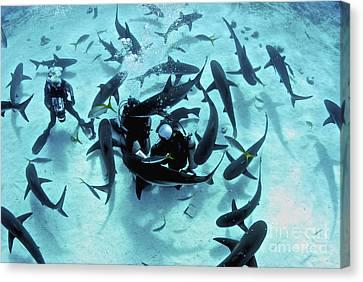 Feeding Frenzy Of Caribbean Reef Sharks Canvas Print by Amanda Nicholls
