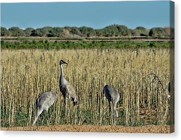 Feeding Greater Sandhill Cranes Canvas Print by Daniel Hebard