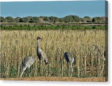 Feeding Greater Sandhill Cranes Canvas Print