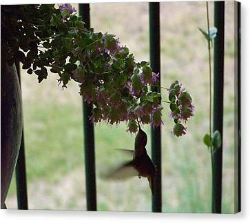 Feeding Hummingbird Canvas Print