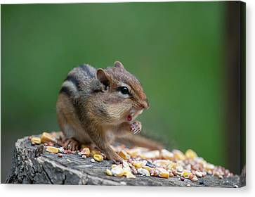 Feeding On A Log With Mouth Open Canvas Print by Dan Friend