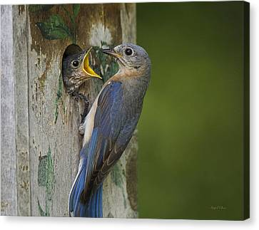 Canvas Print featuring the photograph Feeding Time by Angel Cher