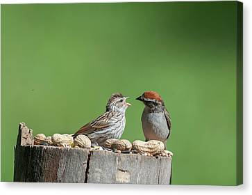 Feeding Time Doesn't Stop Even After Leave The Nest Canvas Print by Dan Friend