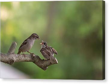 Feeding Time House Sparrows Canvas Print by Terry DeLuco
