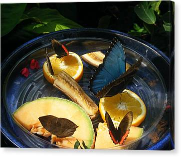 Butterfly Canvas Print - Feeding Time by James and Vickie Rankin