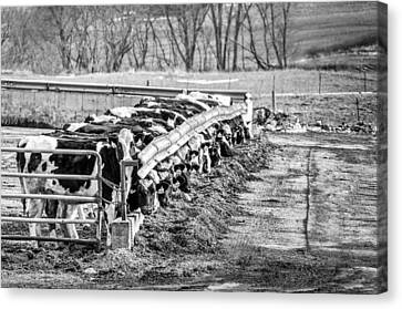 Canvas Print featuring the photograph Feedlot by Dan Traun
