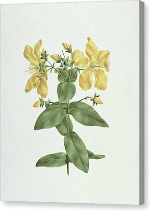Feel-fetch - Hypericum Quartinianum Canvas Print